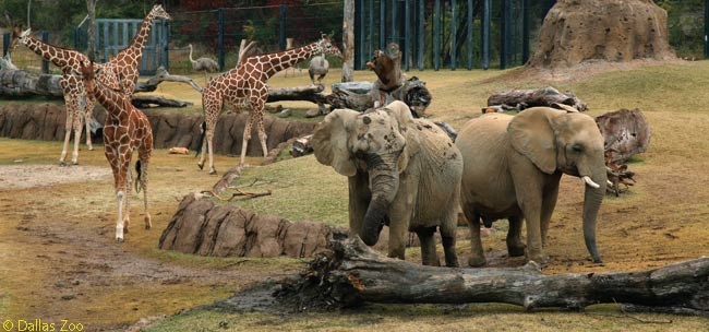 African elephants, giraffes and ostriches now all co-exist in the Dallas Zoo's Giants of the Savanna habitat