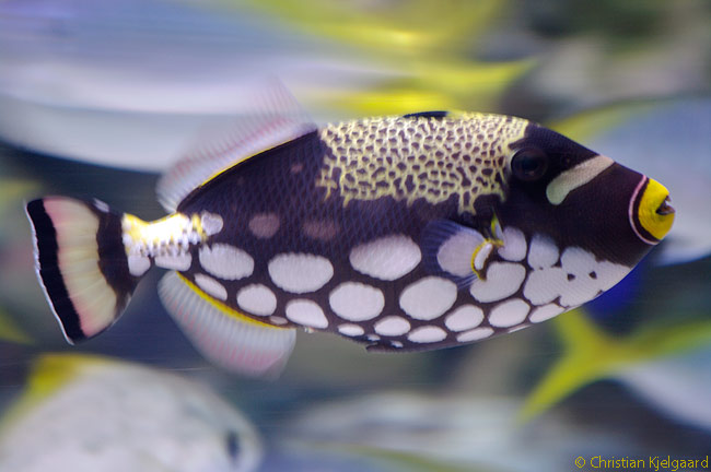 The Clown Triggerfish is one of the most recognizable fish species at the Aquarium of the Pacific in Long Beach