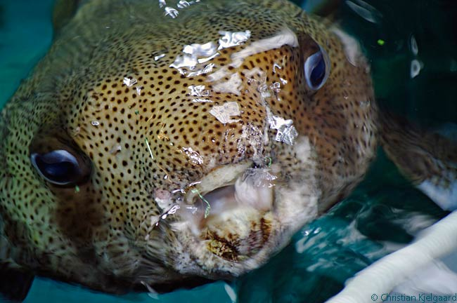 If you're very lucky at the Aquarium of the Pacific, you might get invited into the back areas where the aquarium's staff and volunteers feed the large fish, rays and turtles, which politely come up on to a semi-submerged platform one by one for their feeding. This Spot Fin Porcupinefish is taking its turn at being fed