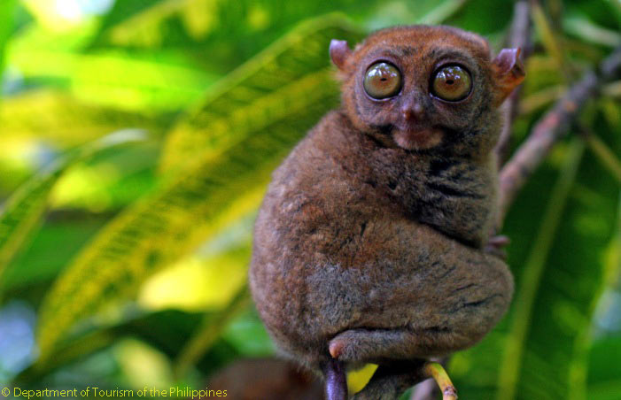 The Philippines has thousands of animal and plant species and 49 per cent of the 7,107-island nation's species are unique to it. One of them is the Tarsier of Bohol, found on Bohol island